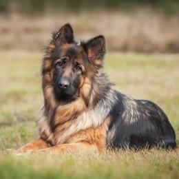 Tabliczka uwaga pies owczarek niemiecki