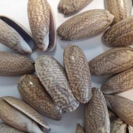 Brązowe muszle dekoracyjne zestaw / muszelki ozdobne do akwarium