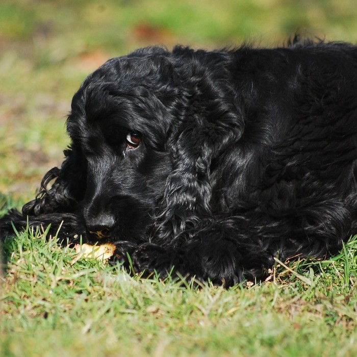 AmiWet szampon dla psa psów o ciemnej czarnej sierści