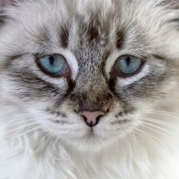 AmiWet szampon dla kotów kota wit. E olejek z lawendy