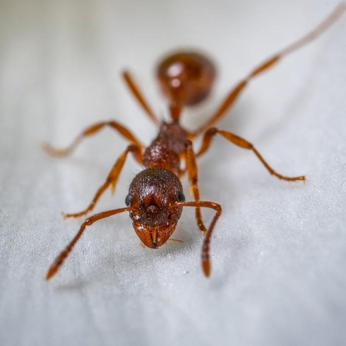 Skuteczny środek BROS preparat trutka proszek na mrówki 100 g