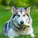 Tabliczka uwaga pies  siberian husky tabliczka ostrzegawcza pies husky
