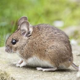Myszołapka drewniana łapka pułapka na myszy i inne gryzonie