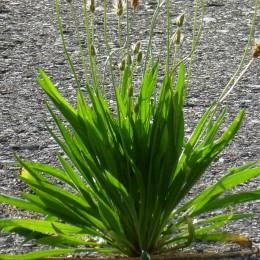 Suszone zioła dla królików gryzoni Tivo babka lancetowata 150 g