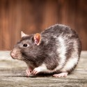 Dla szczura