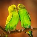 Dla papużek falistych